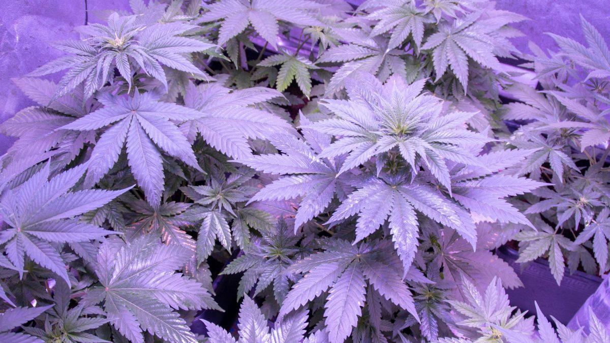 Warum gibt es Marihuana in verschiedenen Farben?