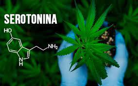 Marihuana und Serotonin: Alles, was Sie wissen müssen